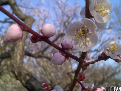 小金井公園の梅3