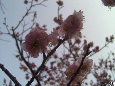 小金井公園の梅4