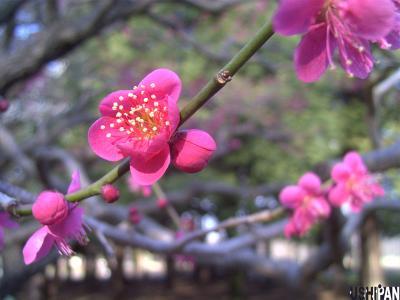 小金井公園の梅5