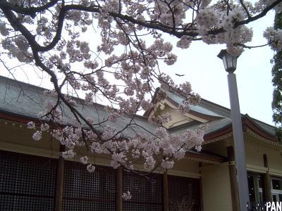 小金井公園の桜1