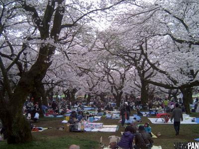 小金井公園の桜2