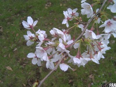 小金井公園の桜3