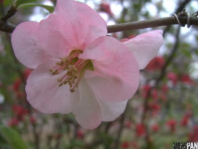 ボケの花2
