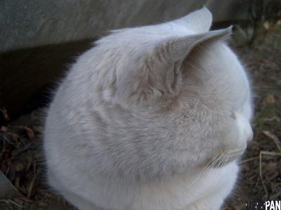 白い毛玉1
