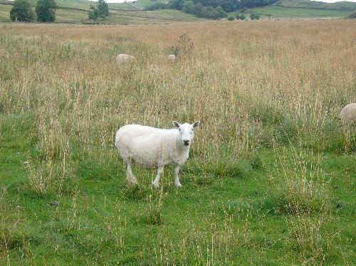 湖水地方の羊さん