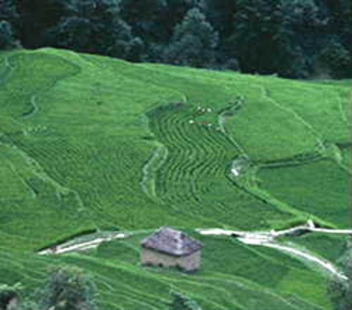 Ilam茶畑