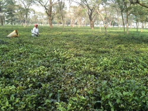 茶畑_Jhapa