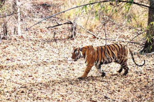 Saptari tiger