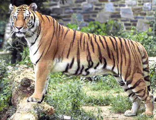 Bengal-Tiger Parsa wildlife reserve