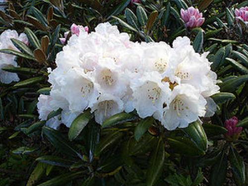 300px-Rhododendron_yakushimanum1UME.jpg