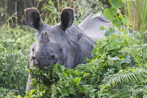 Indian_rhino_jungle_Nepal.jpg