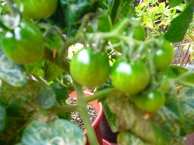 S君のミニトマト