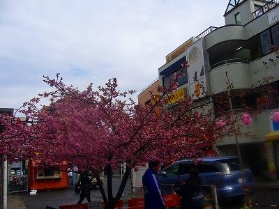 三浦河津桜