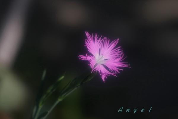 カワラナデシコAngel(165)
