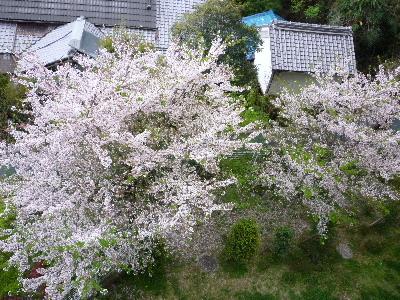 マンションの下の桜