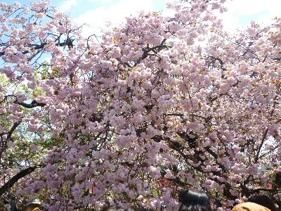 造幣局の桜1