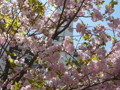 造幣局の桜4
