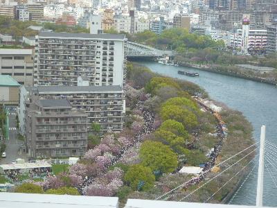 造幣局の桜6