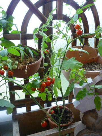 ベランダのトマト2