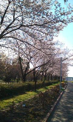 摂津市の桜
