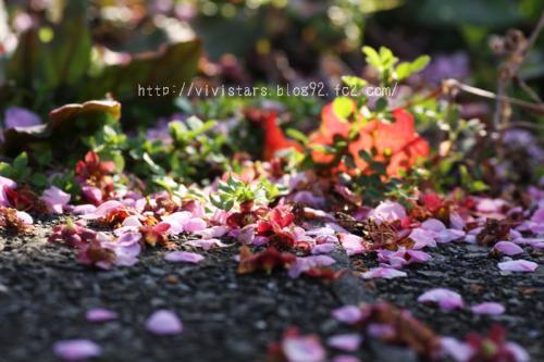 紅梅の落ち花
