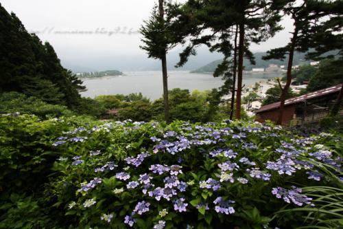 かちかち山の紫陽花