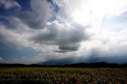 明野 ひまわり畑03