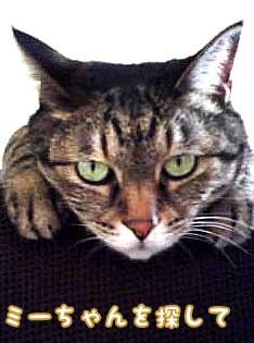 キジトラ猫のモンテカルロ(♀)、通称モンちゃん