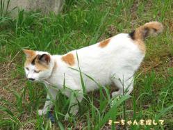 野田分院の近所の建設会社で暮らす三毛猫
