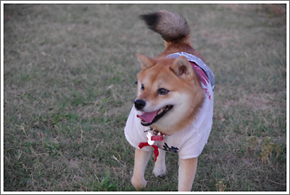 豆柴 みかんちゃん