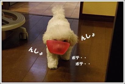 ビションフリーゼ こむぎちゃん