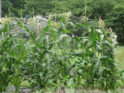 まだの玉蜀黍