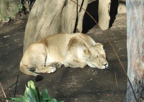 lion ohirune