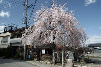 普門院糸桜