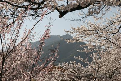 大宮桜並木