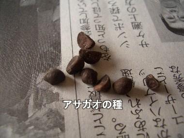 アサガオの種