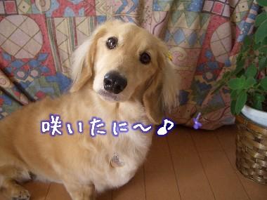藤吉郎咲く03