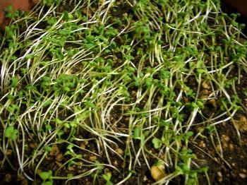 サラダの芽.jpg