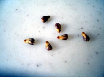 110911 ブドウの種.jpg