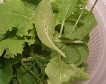 20120109 収穫した摘み菜.jpg