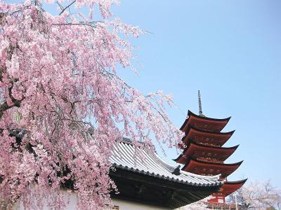 桜咲く宮島