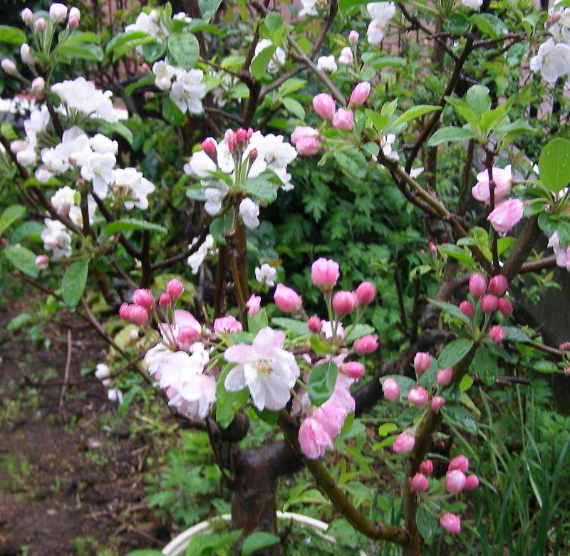 花カイドウとリンゴの花