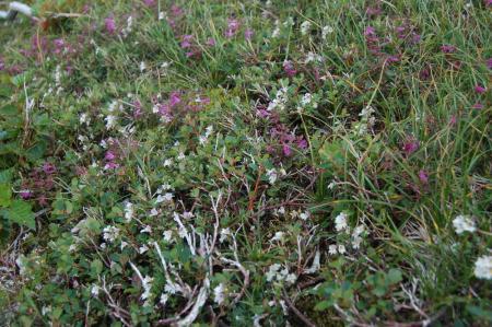ミヤマママコナ(紫)とミヤマコゴメクサ(白)