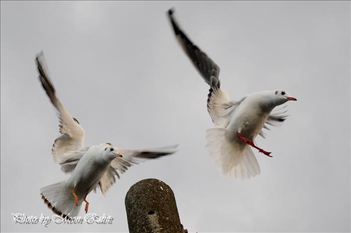 西条市の野鳥 かもめ(鴎)の飛翔 西条市北浜にて 2009年1月10日