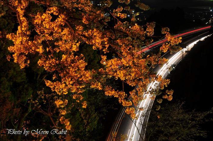 西条市市民の森 梅林園・冒険広場・西条市考古歴史館・八堂山の桜(サクラ)・梅(ウメ)・躑躅(ツツジ)などの総集編 愛媛県西条市福武 --写真は-- 西条市の桜 市民の森の桜と夜桜 愛媛県西条市福武 2009年4月12日