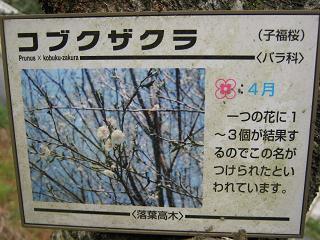 kobukuzakura101212-202