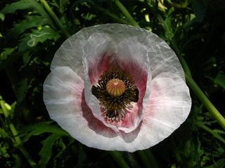 poppy-higasimatuyama100516-203