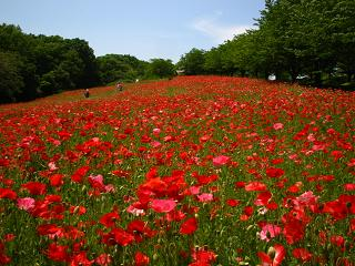poppy-higasimatuyama100516-206
