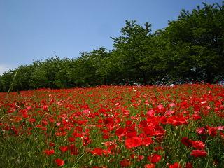 poppy-higasimatuyama100516-207