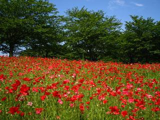 poppy-higasimatuyama100516-208